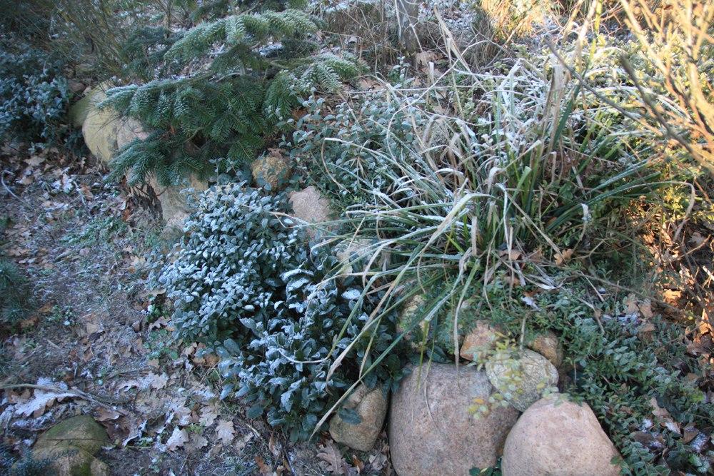 лавровишня пири, османтус бурквуда и вечнозеленая осока