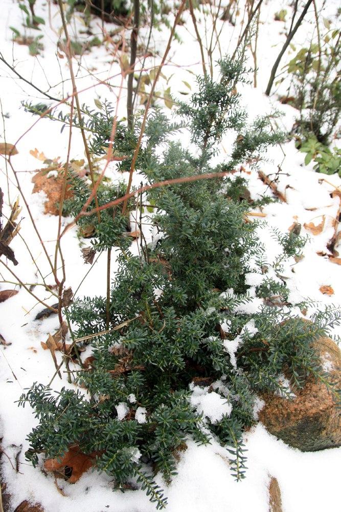 подокарпус снеголюбивый