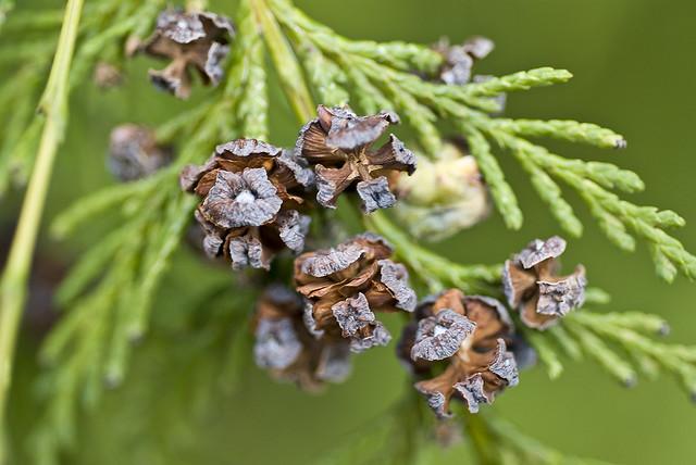Chamaecyparis-Nootkatensis-3