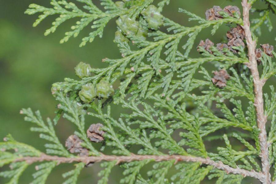 Chamaecyparis_pisifera_1