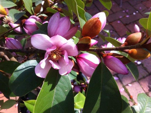 Fairy Magnolia - цветы