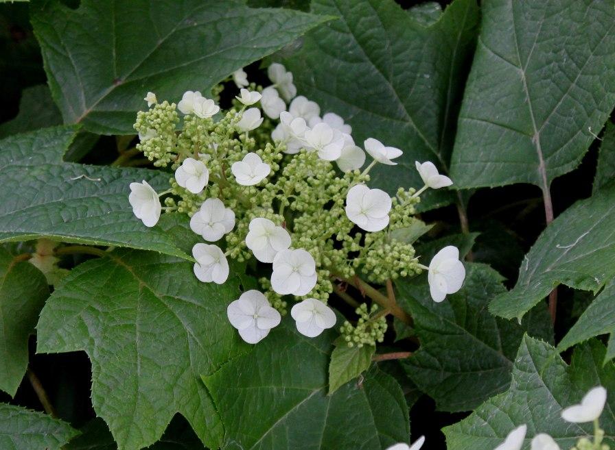Hydrangea_quercifolia