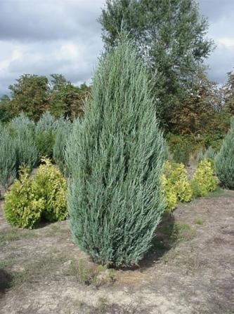 Juniperus-virginiana-1