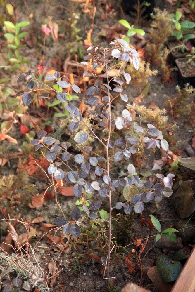 Loropetalum chinens