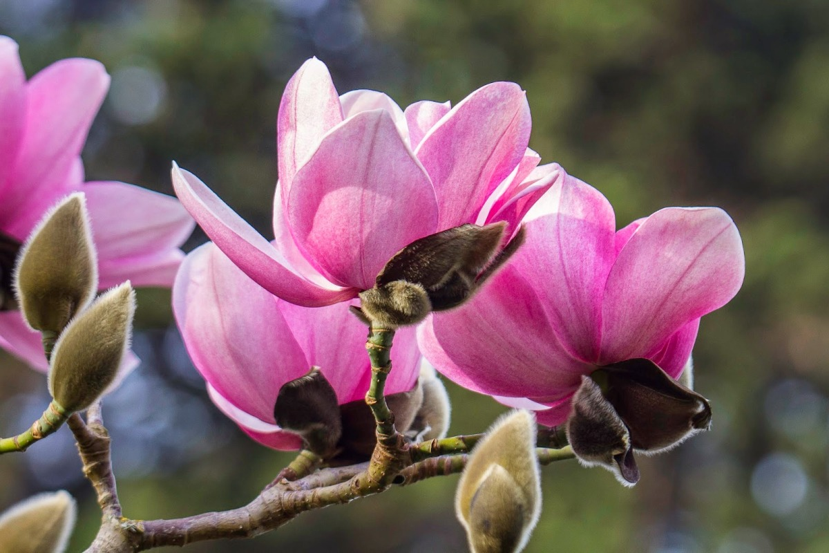 Magnolia-campbellii