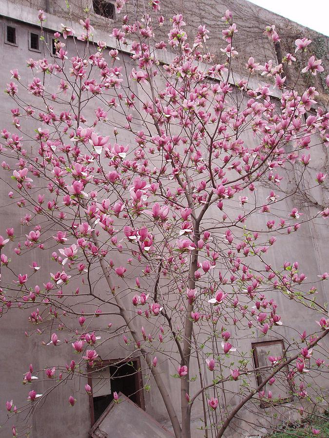 Magnolia-liliiflora-2