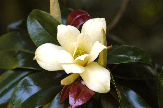 Magnolia-nitida