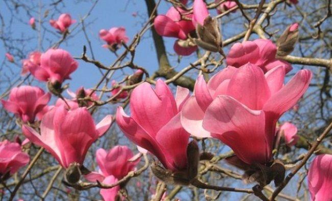 Magnolia-sprengeri