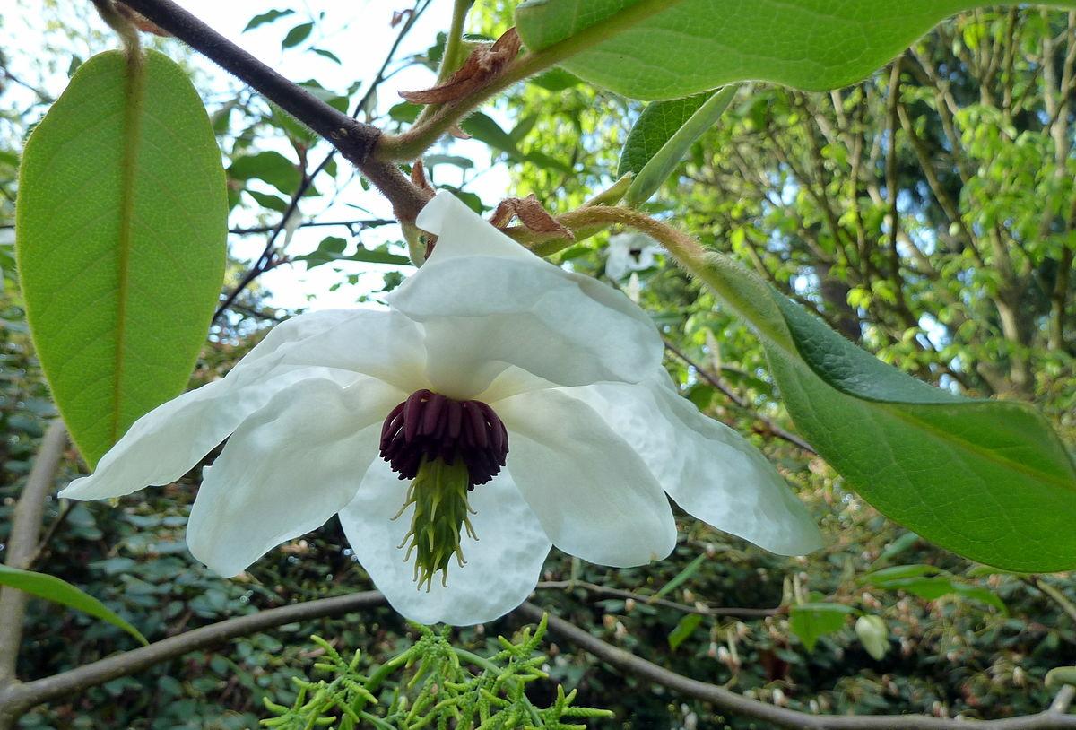 Magnolia-wilsonii