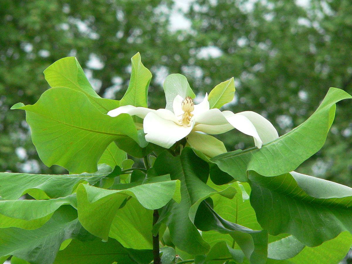 Magnolia_ashei_blossom