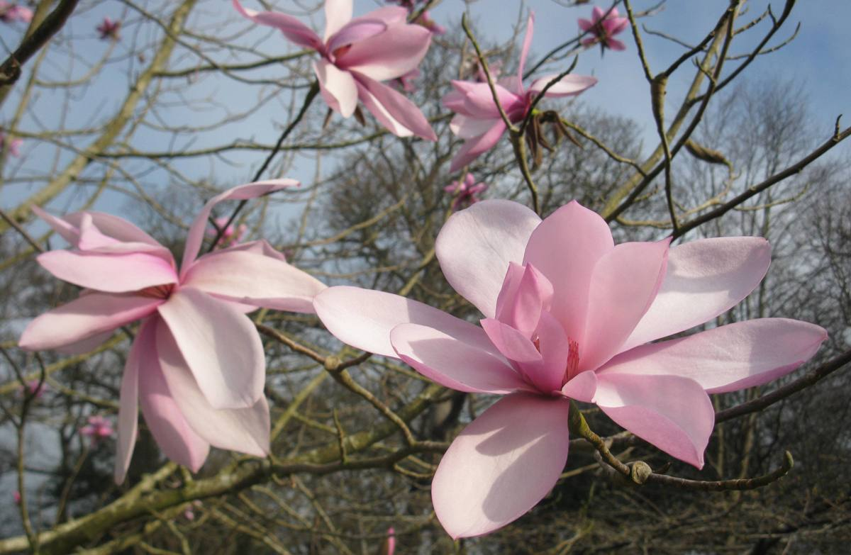 Magnolia_dawsoniana