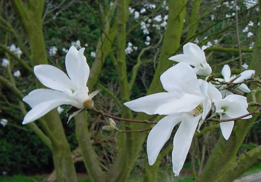 Magnolia_kewensis