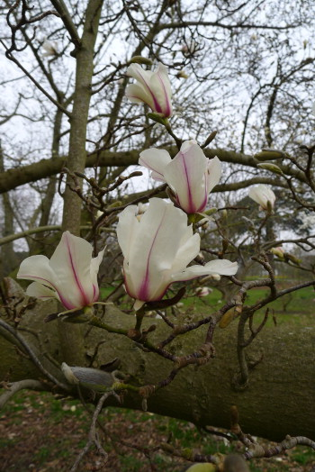 Magnolia_kewensis1