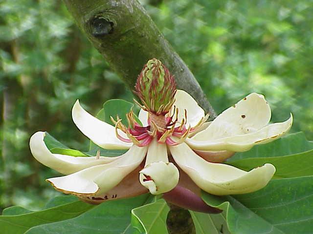 Magnolia_obovata