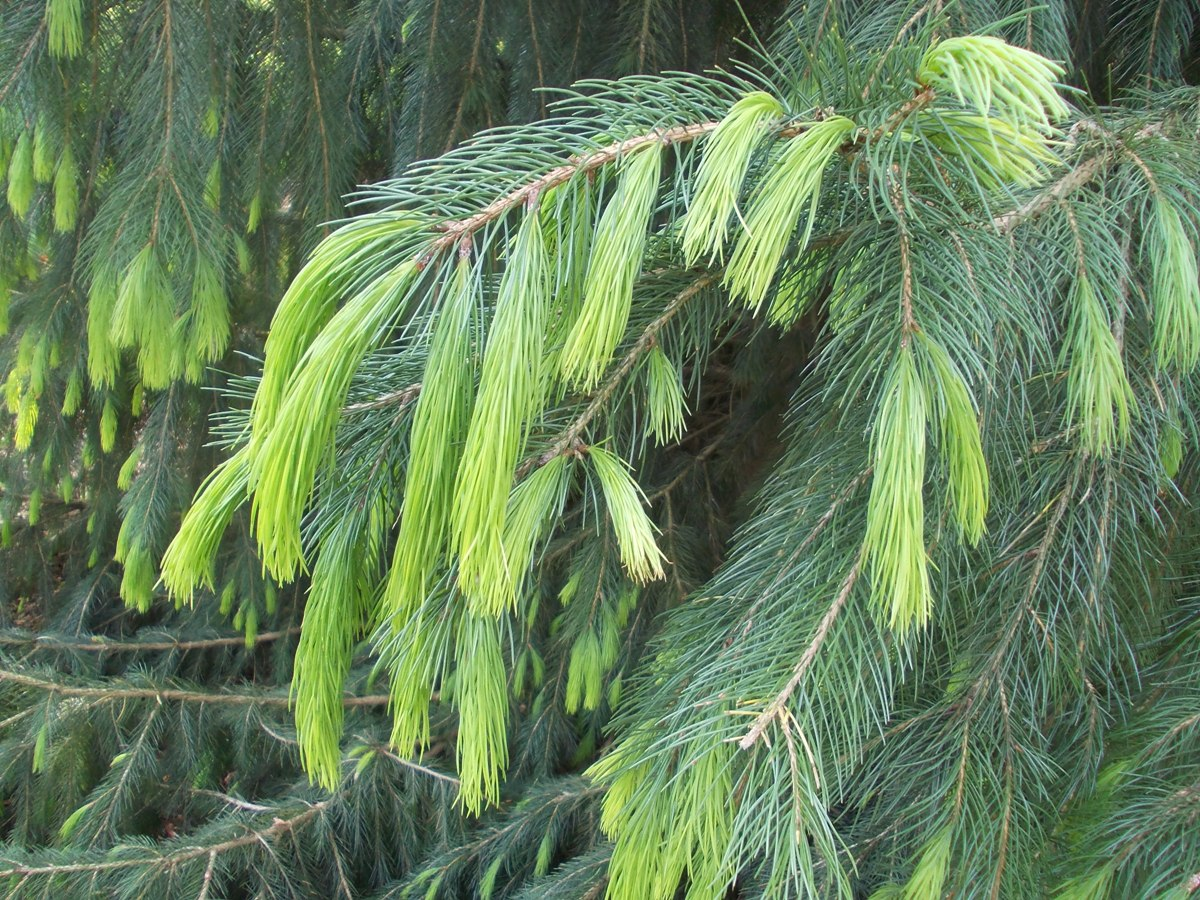 New_growth_Picea_smithiana