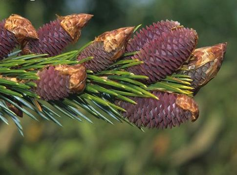 Picea-brachytyla-bearing-cones