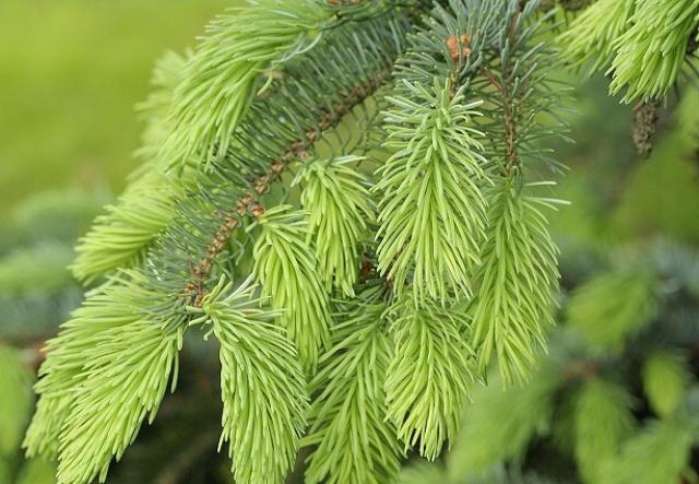 Picea_х_lutzii_1