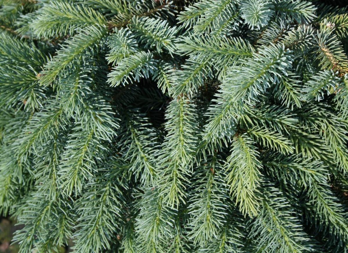 Picea_х_lutzii_3