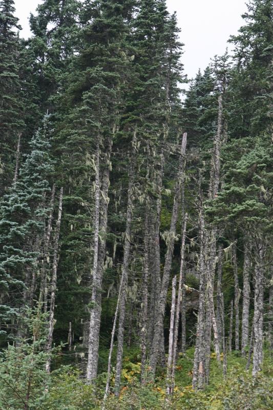 Picea_х_lutzii_4