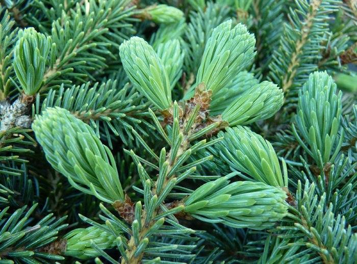 Picea_х_lutzii_5