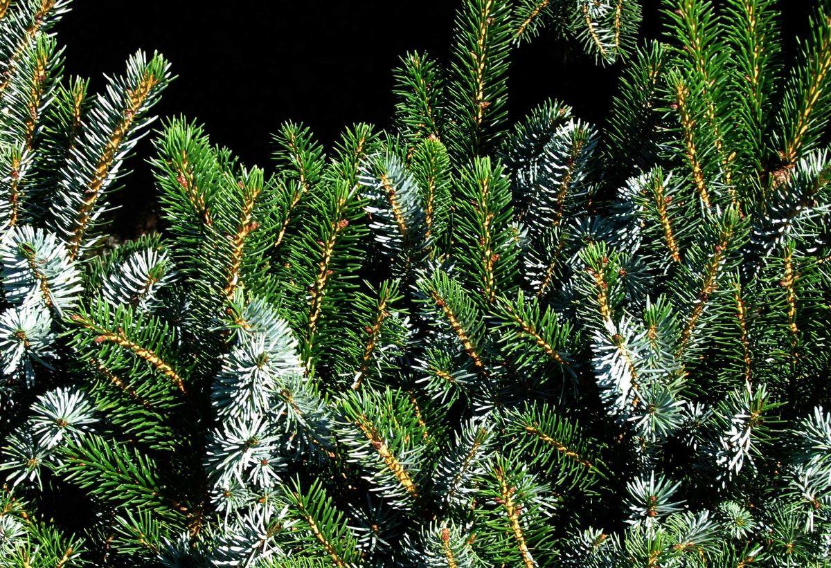 Picea_bicolor_1