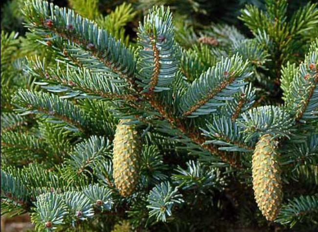 Picea_bicolor_3