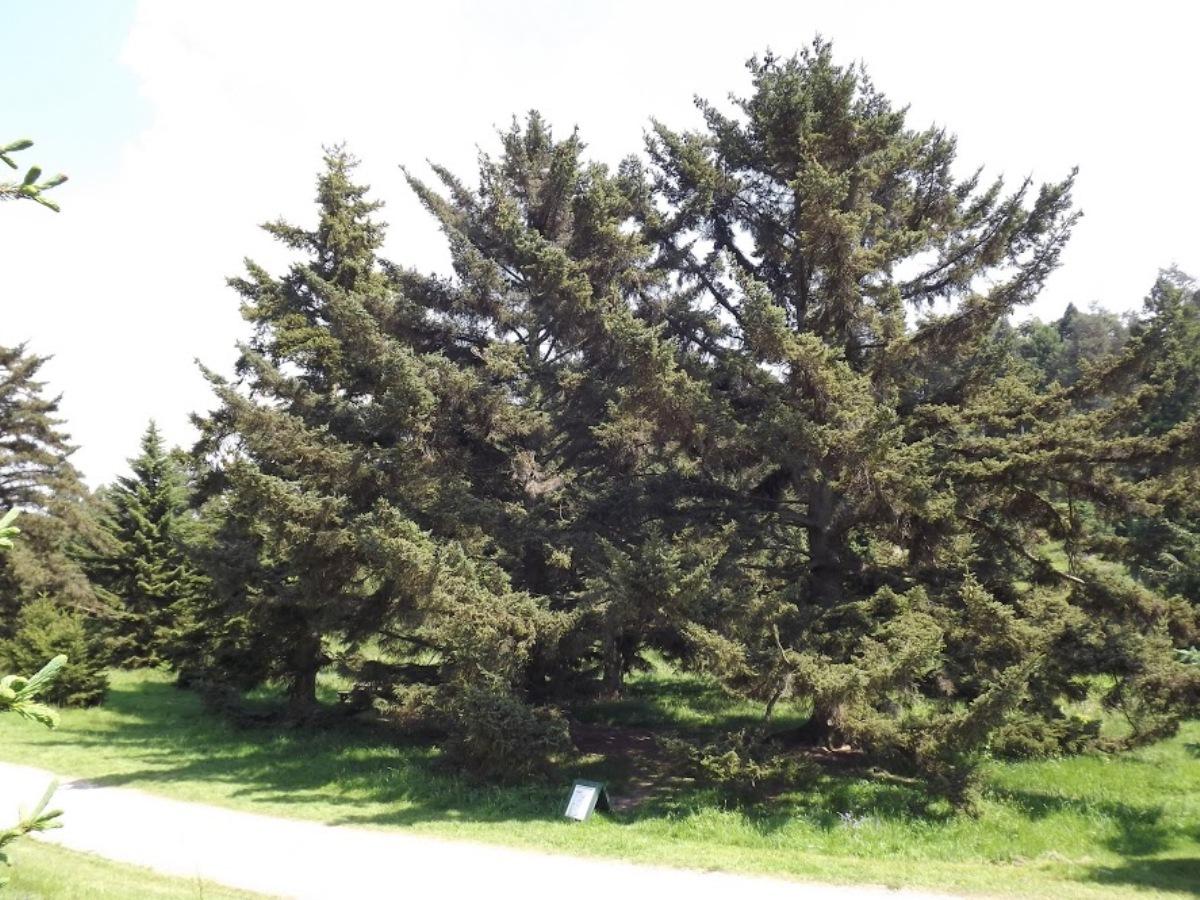 Picea_bicolor_7