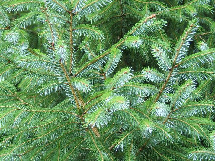 Picea_brachytyla_3