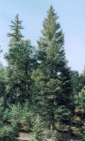 Picea_chihuahuana_2