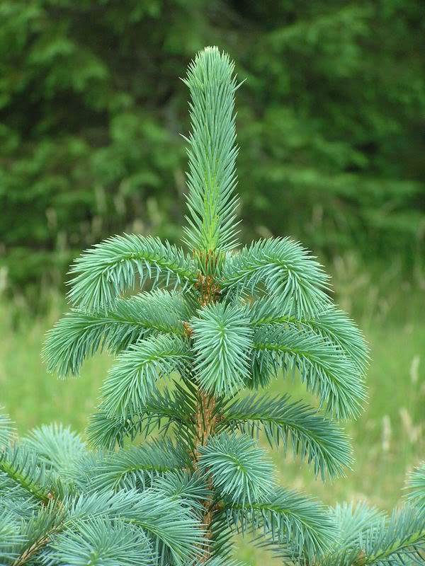 Picea_chihuahuana_4