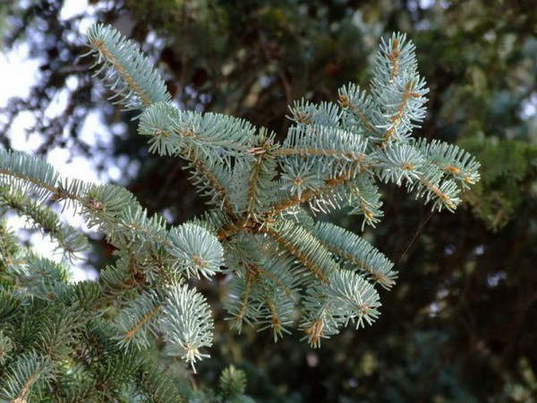 Picea_crassifolia_4