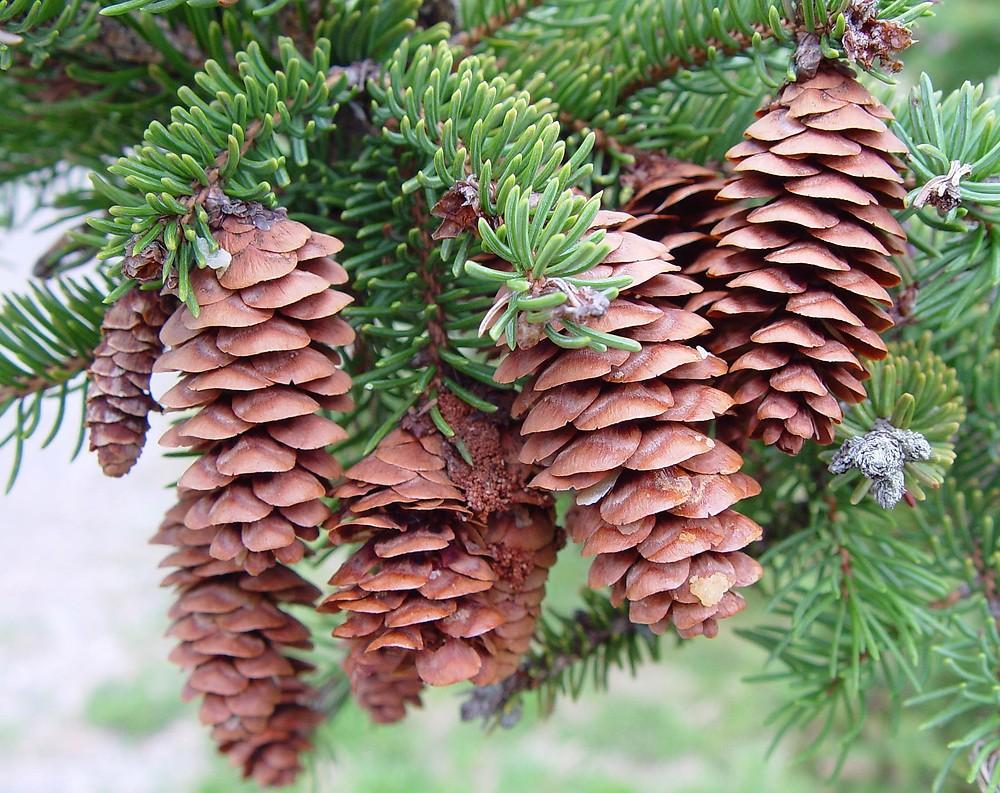 Picea_glauca_5