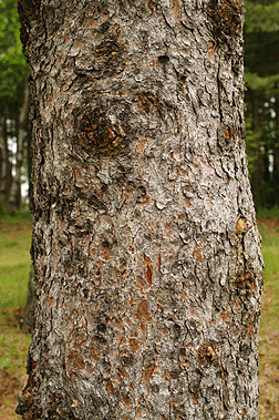 Picea_glauca_7