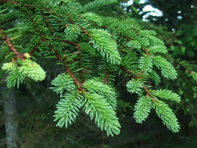 Picea_koyamae_4