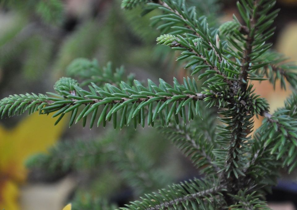 Picea_likiangensis_7