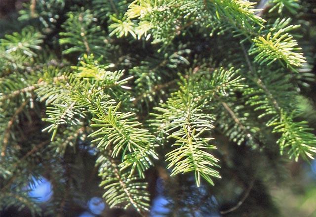 Picea_maximowiczii_1