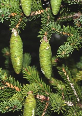 Picea_maximowiczii_2