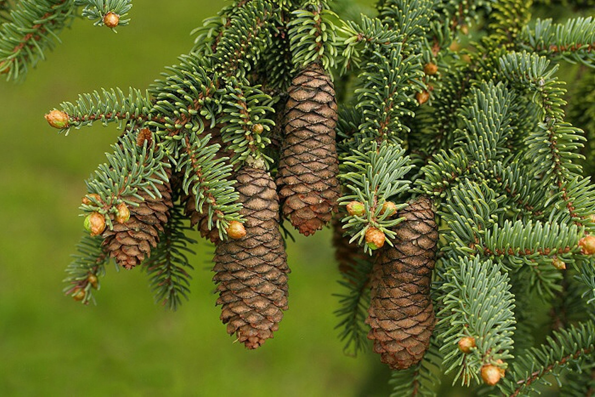 Picea_maximowiczii_3