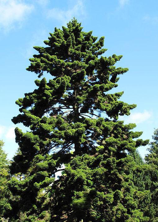 Picea_maximowiczii_4