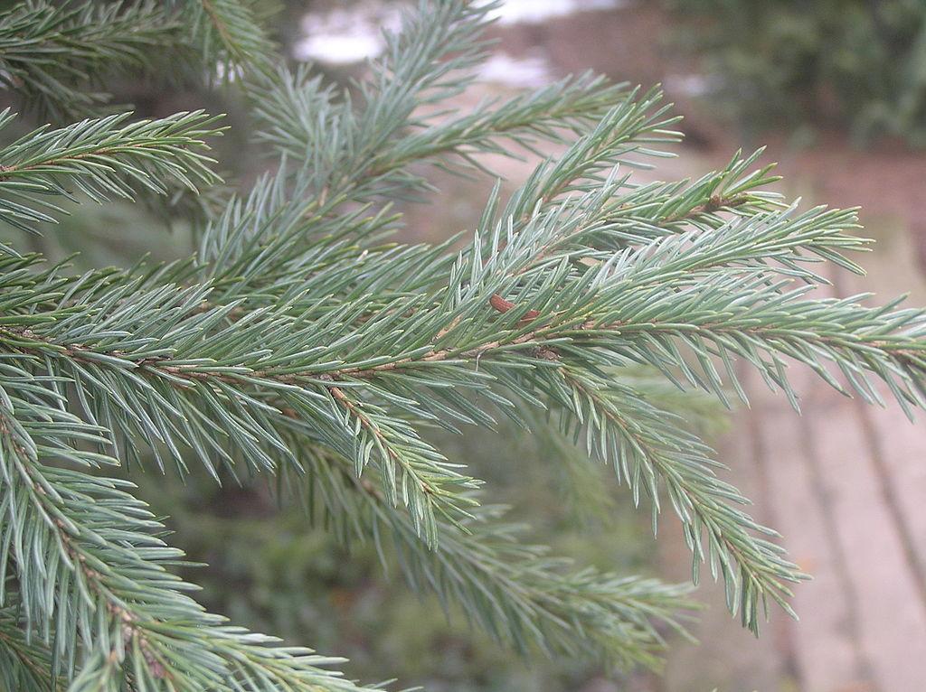 Picea_obovata_1