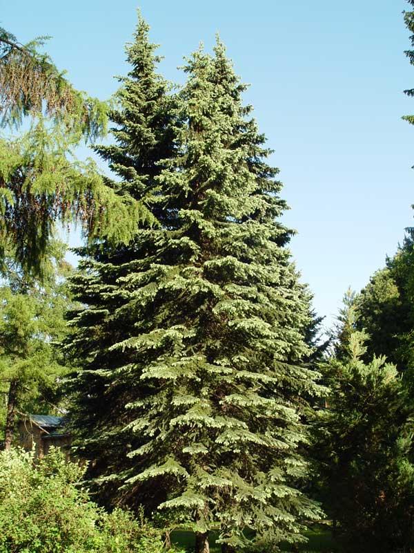 Picea_obovata_7