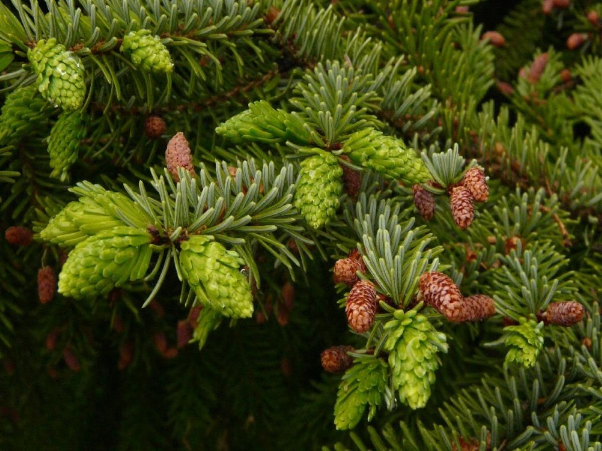 Picea_omorika_3