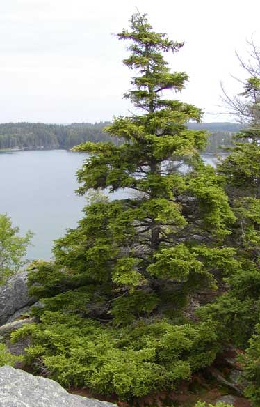 Picea_rubens_5