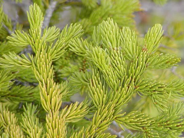 Picea_rubens_6