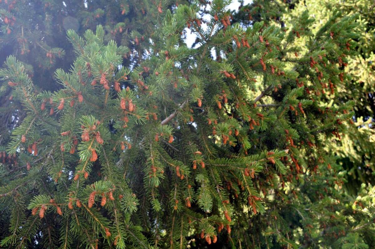 Picea_schrenkiana_1