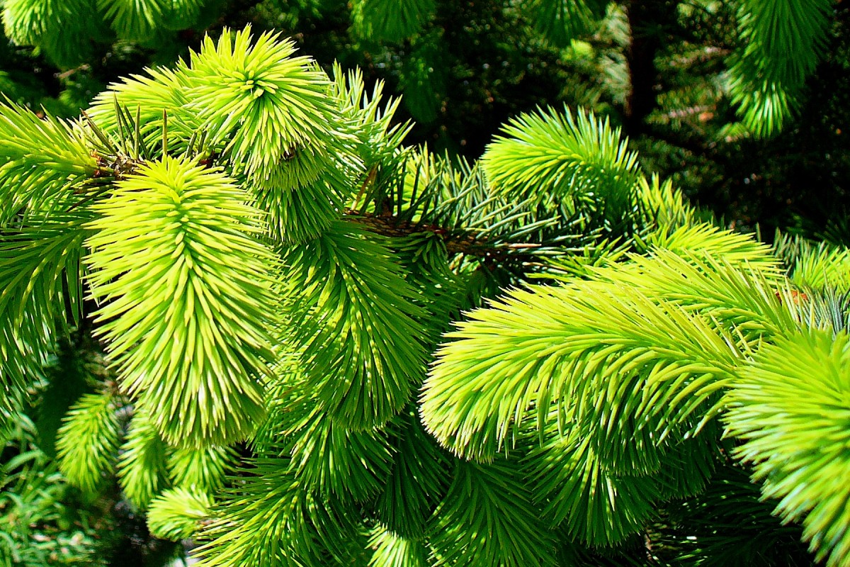 Picea_sitchensis_2