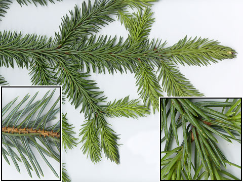 Picea_sitchensis_8