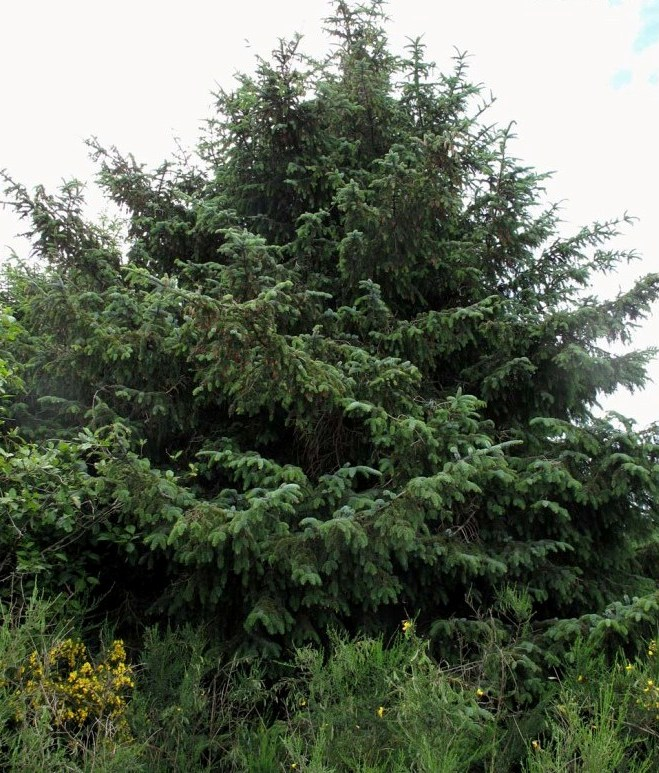 Picea_sitchensis_9