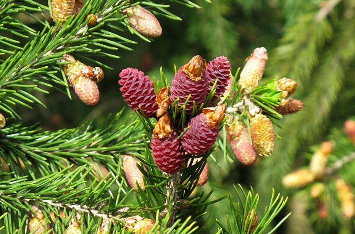 Picea_wilsonii_3