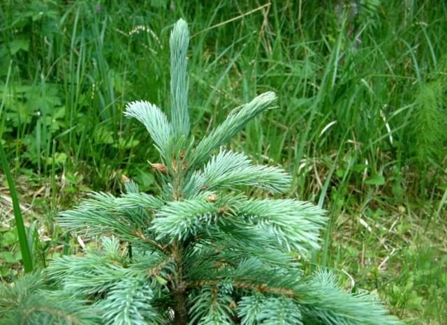 Picea_wilsonii_7